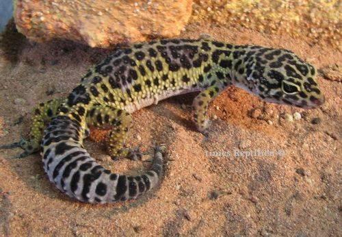 hobby leopardgeckos kerstin franke die pflege von