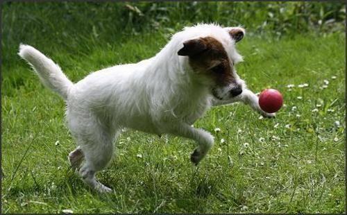 Hobby Jack Russell Terrier Maike Clüver Jack Russel Terrier